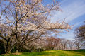 Cherry blossoms and cirrus clouds in japan Stock Image