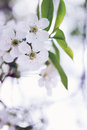 Cherry blossoms close up beautiful blooming flowers on tree branch Stock Photography