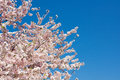 Cherry Blossoms Closeup Against a Deep Blue Sky II Royalty Free Stock Photo