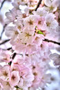 Cherry blossoms closeup of beautiful pink in branches of prunus ornamental tree Stock Photos