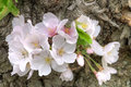 Cherry blossoms closeup of beautiful white and pinkish blooming on trunk of tree Stock Photo