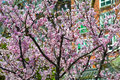 Cherry blossoms donghua park in wuhan china Stock Photo