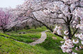 Cherry blossoms and a footpath in kagawa japan Royalty Free Stock Photography