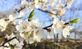 Cherry blossoms in the garden blooming flowers on a branch of spring Royalty Free Stock Photos