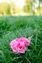 Cherry blossoms and grass fall on the Royalty Free Stock Photo