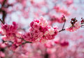 The Cherry blossoms in kunming,China