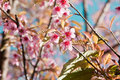 Cherry blossoms in nature chiangmai thailand Royalty Free Stock Photo