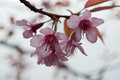 Cherry blossoms in nature closeup Royalty Free Stock Images