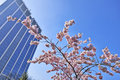 Cherry blossoms with nice modern building in background Stock Photos