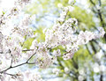 Cherry Blossoms Over Blurred N...