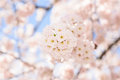 Cherry blossoms photograph of pink spring Royalty Free Stock Image