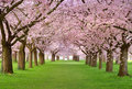 Cherry blossoms plenitude Royalty Free Stock Photo