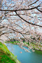 Cherry blossoms at riverside Stock Images
