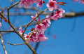 Cherry blossoms or sakura flower in full bloom Royalty Free Stock Image