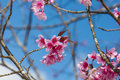 Cherry blossoms or sakura flower on tree Stock Photos