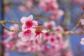 Cherry blossoms or sakura flower on tree Royalty Free Stock Images