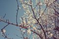 Cherry blossoms in spring april against the sky beautiful Stock Photography