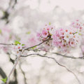 Cherry blossoms in the spring time Royalty Free Stock Photography