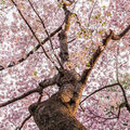 Cherry blossoms in the spring time Royalty Free Stock Image