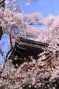 Cherry Blossoms at Takato Catle Stock Image