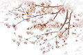 Cherry blossoms tender on misty white Stock Image