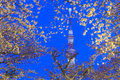Cherry blossoms and the Tokyo Skytree in Tokyo at dusk Royalty Free Stock Photo