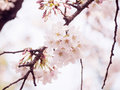 Cherry blossoms on tree in japan selective focus with blurry foreground of branch and some of blossom and blurry background of Royalty Free Stock Photography