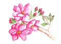 Cherry blossoms watercolor delicate hot pink blossom flowers on branch Royalty Free Stock Photos