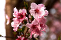 Cherry Bosom Royalty Free Stock Photo