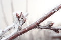 Cherry branch with sprout covered in ice Royalty Free Stock Photos