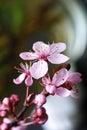 Cherry flower Royalty Free Stock Photo