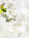 Cherry flower background Stock Image