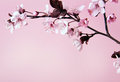 Cherry flower blossom on pink background Stock Images