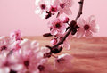 Cherry flower blossom on pink background Royalty Free Stock Photos