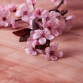 Cherry flower blossom on pink background Stock Image