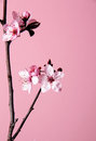 Cherry flower blossom on pink background Royalty Free Stock Photo