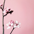 Cherry flower blossom on pink background Stock Photos
