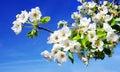 Cherry flower on blue sky