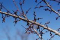 Cherry flower bud on a tree branch branch with tree buds. Royalty Free Stock Photo