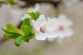 Cherry flower with green leaf close photographed Stock Photo