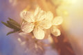 Cherry flower in spring dreamy photo of Royalty Free Stock Photos
