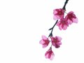 Cherry flowers close up blossom Royalty Free Stock Images