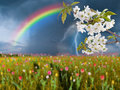 Cherry flowers and thunderstorm summer landscape with over big tulip meadow Stock Photos