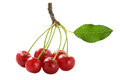 Cherry fully isolated Stock Photo