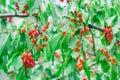 Čerešne v záhrada
