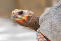 Cherry head red foot tortoise geochelone carbonaria Stock Image