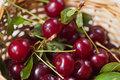 Cherry - joy for eyes and delight to mouths Royalty Free Stock Photo