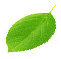 Cherry leaf isolated on a white Royalty Free Stock Photo