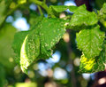 Cherry leaves affected by aphids. Insect pests on the plant Royalty Free Stock Photo