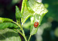 Cherry leaves affected by aphids. Insect pests on the plant. Ladybug eating aphid Royalty Free Stock Photo